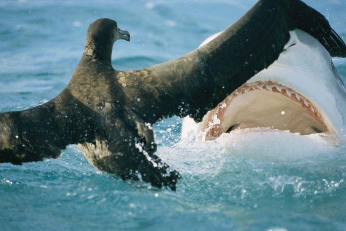 Un tiburón amenaza a un albatros
