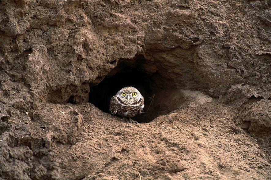 Un mochuelo de madriguera a la entrada de su madriguera en Florida