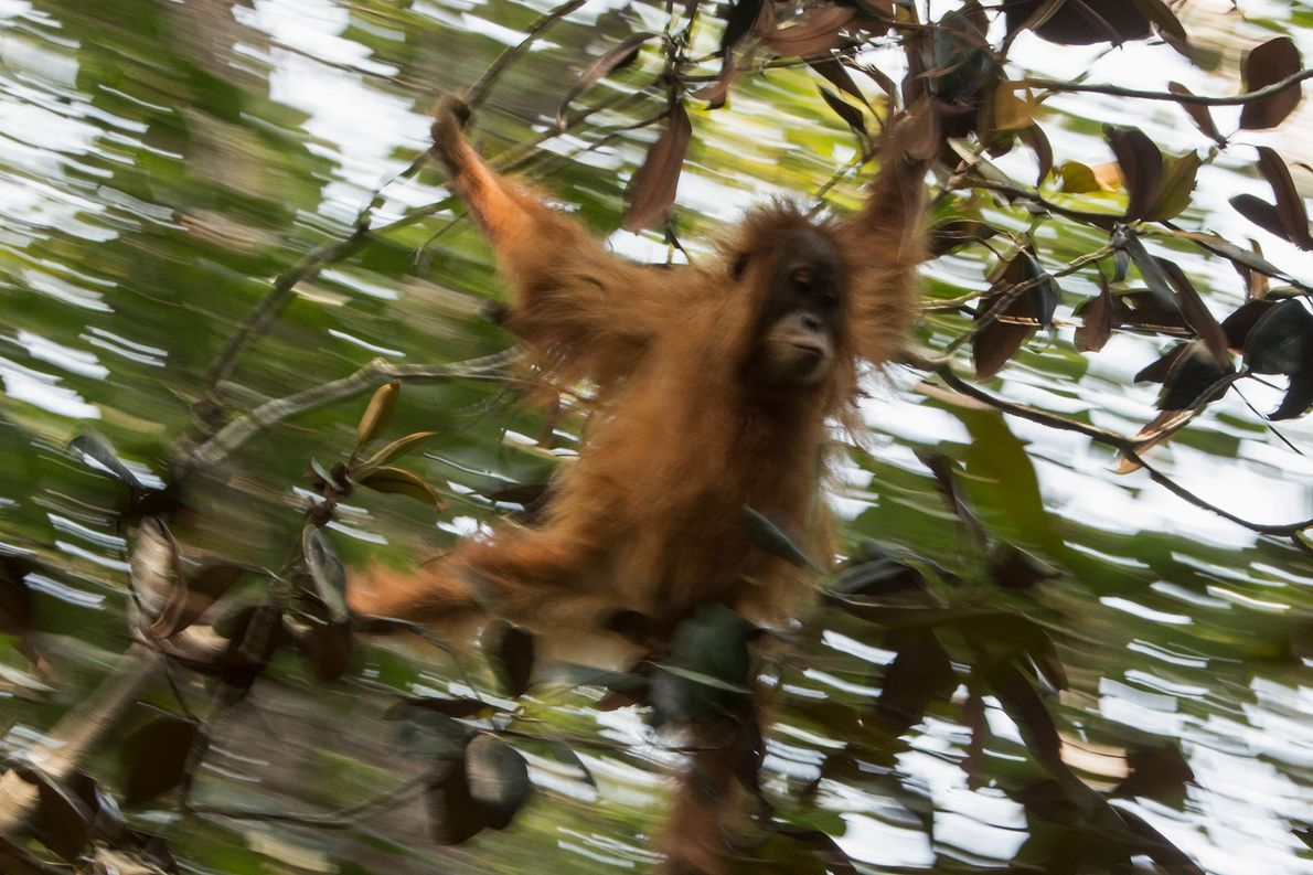 Una joven hembra de orangután de Tapanuli va de árbol en árbol.