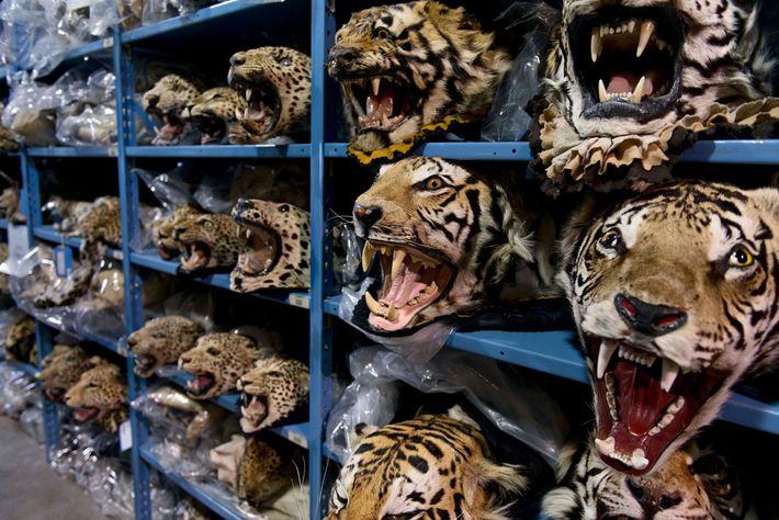 Cabezas de tigre