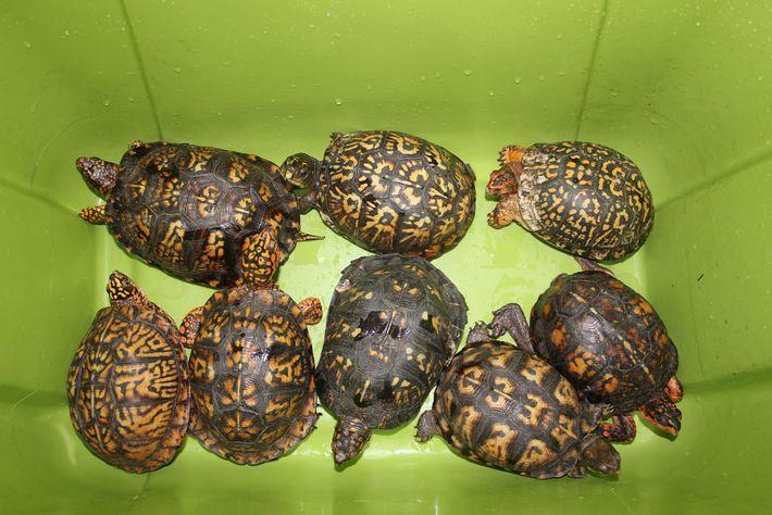 Tortugas de caja del este
