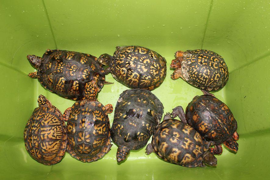 Los conservacionistas temen que, como las tortugas —como estas tortugas de caja del este— pueden tardar cinco años o más en alcanzar la edad reproductiva, retirar grandes cantidades de la naturaleza provoque el rápido desplome de las poblaciones locales.