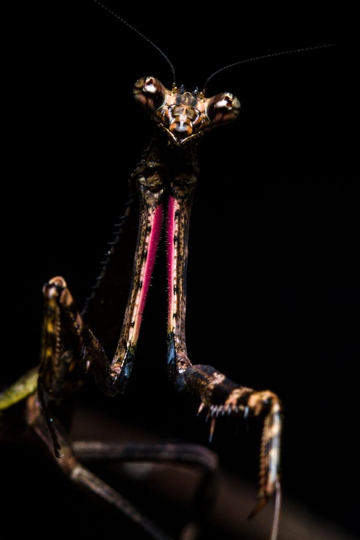Mantis Pseudovates