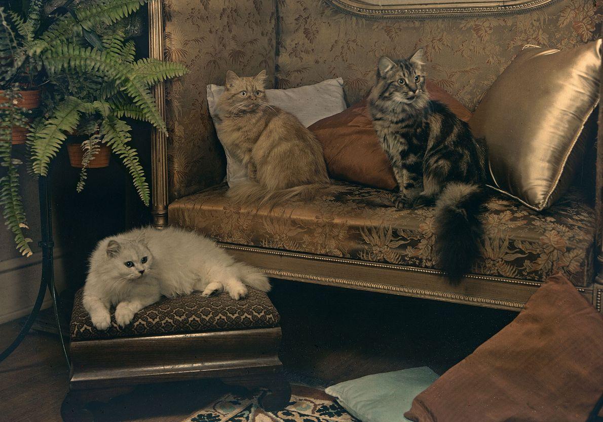 Un trío de gatos persas