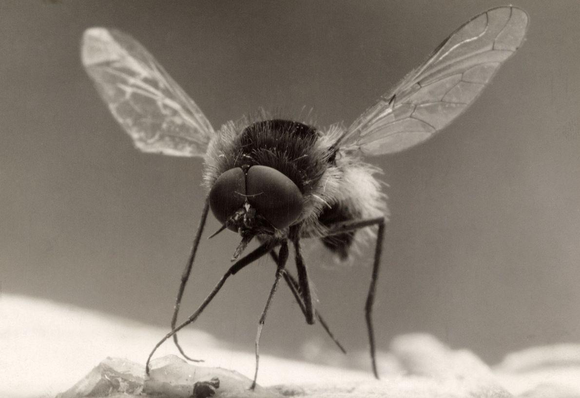 Bombílido o mosca abeja