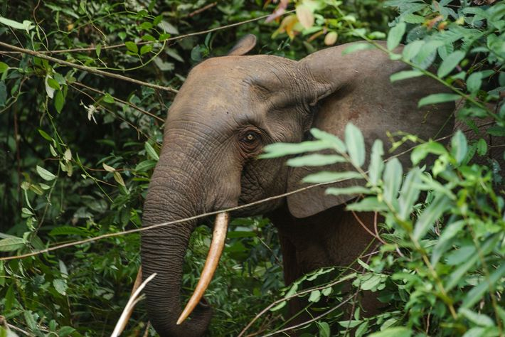 Elefante africano de bosque
