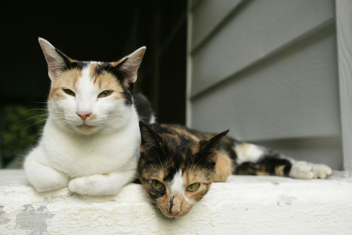 Gato doméstico