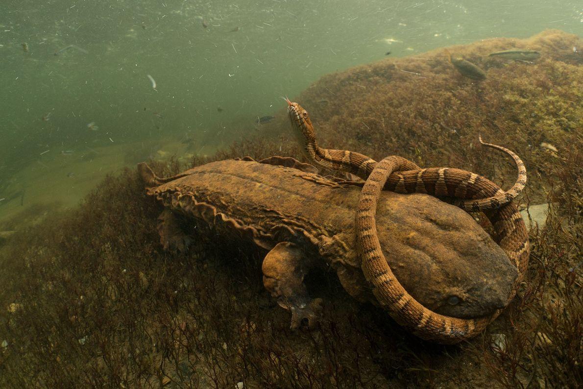 Salamandra contra serpiente