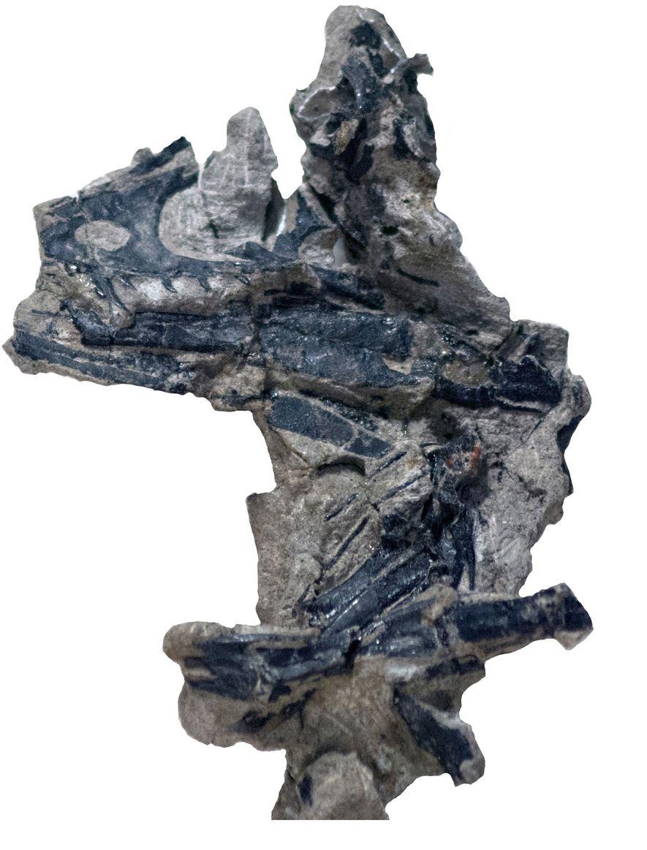 Cráneo del Hesperornithoides miessleri