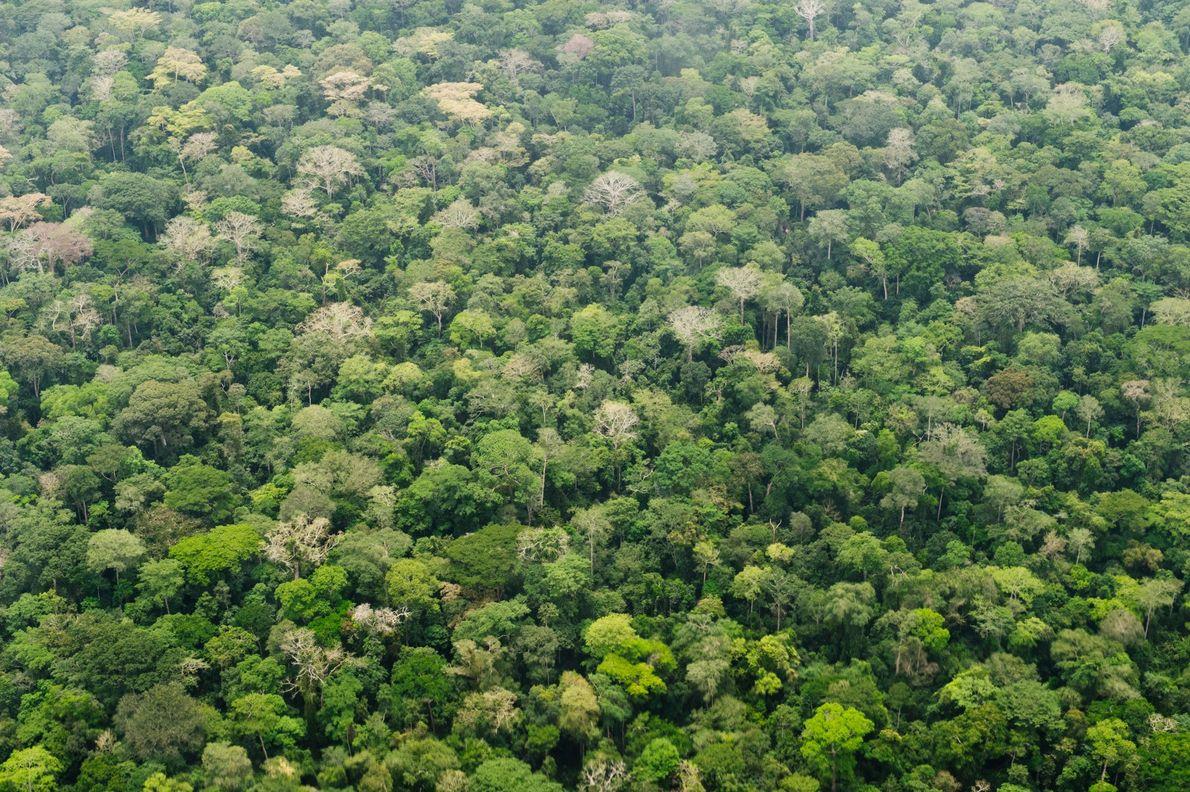 La selva tropical cubre el parque nacional de Dzanga en la República Centroafricana. Los bosques tropicales …
