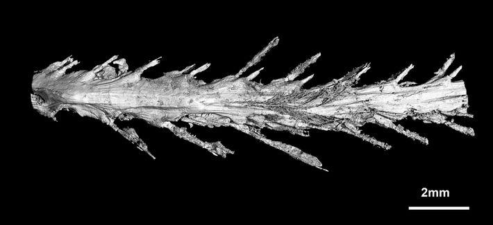 Imagen del escáner de la cola del dinosaurio