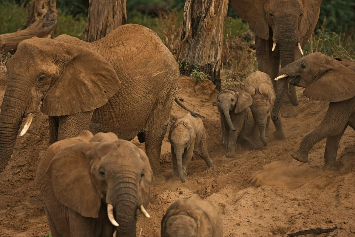 Una familia de elefantes busca agua