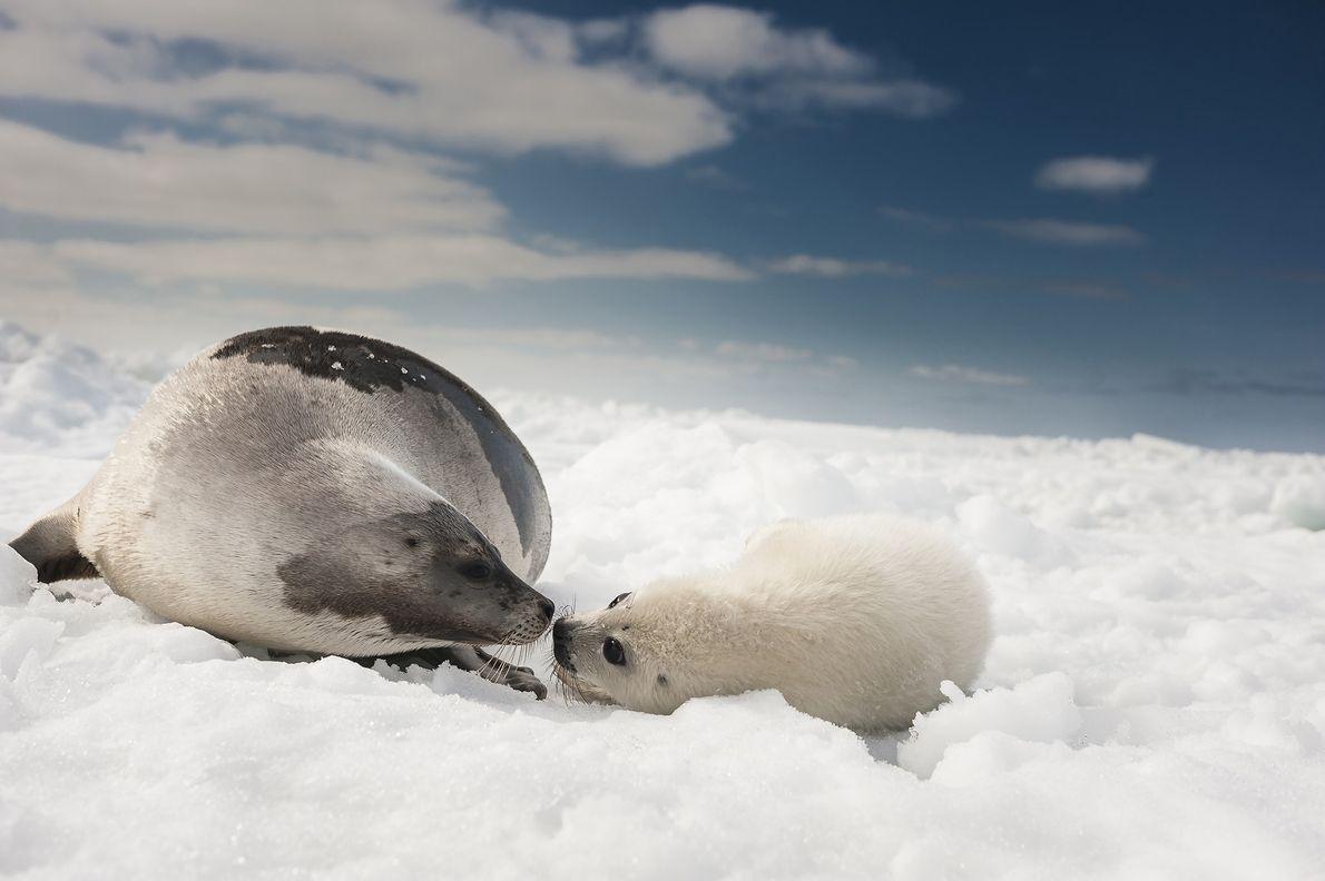 Los cazadores canadienses prefieren a las crías de foca arpa debido a que tienen un pelaje …