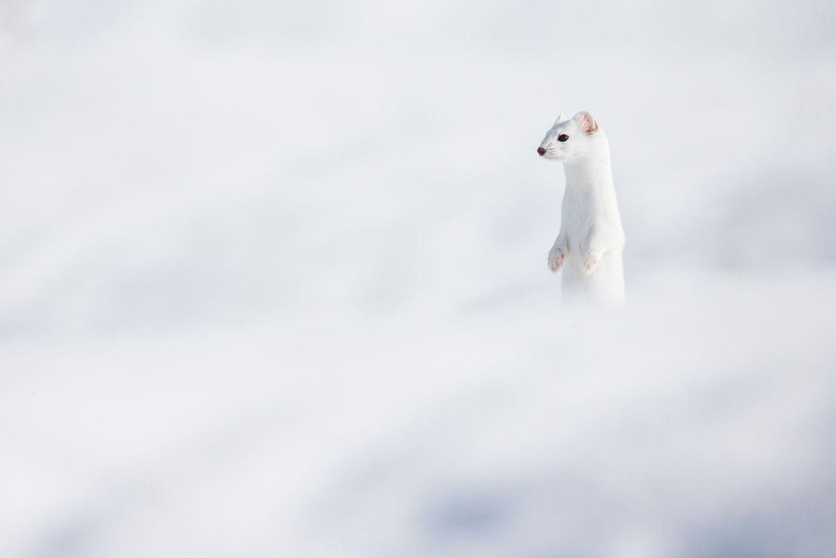 Camuflado con la nieve