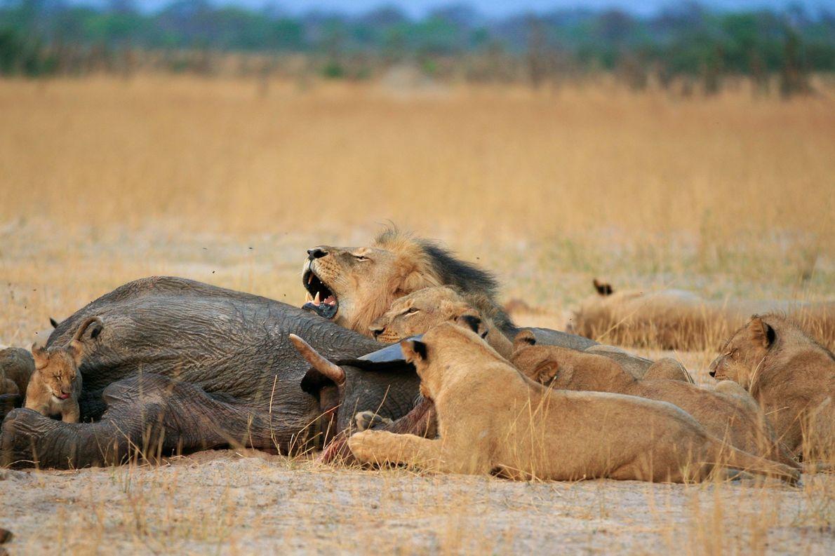 El león Cecil era muy querido en Zimbabue