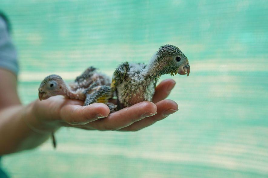 Unos polluelos de loro reciben cuidados en el centro de rescate de Aguas Calientes. Miembros del ...