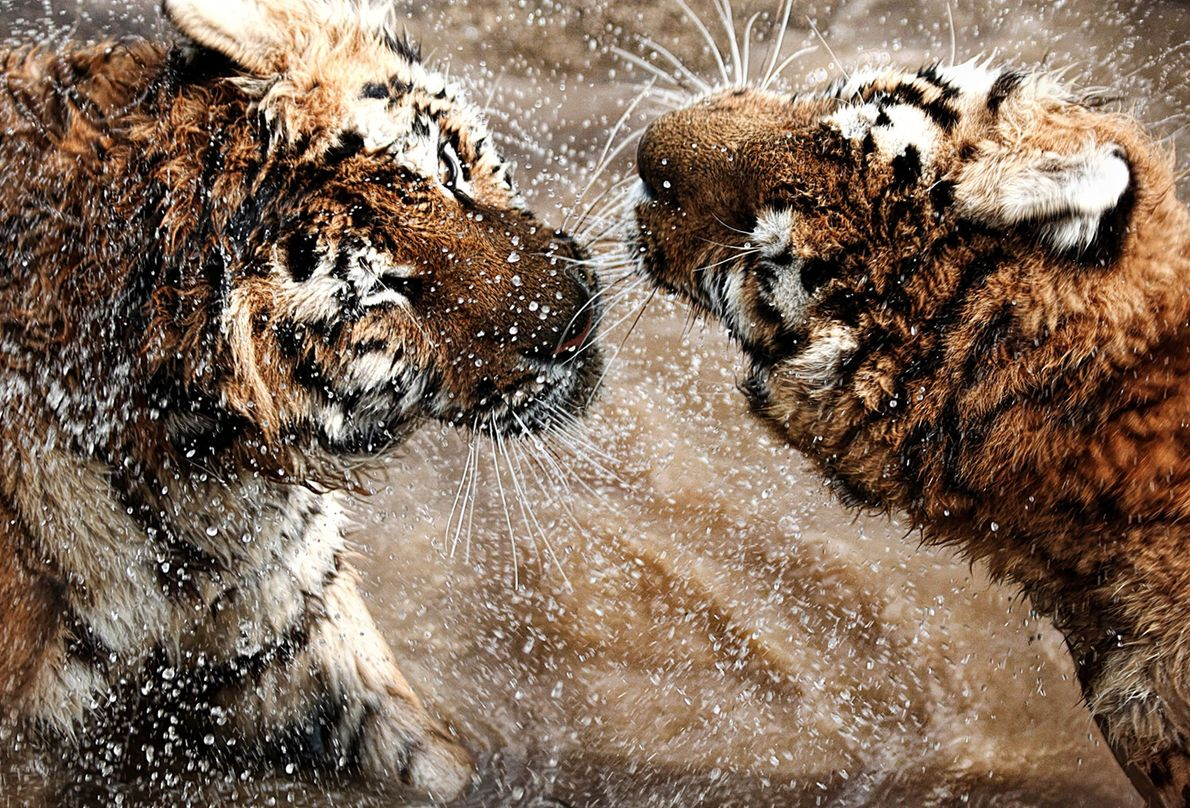 Siberian tigers square up in Hungary.