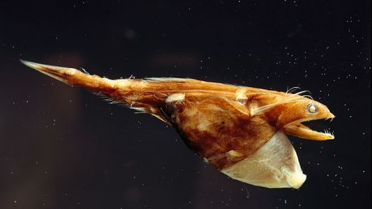 Con un estómago extensible, este pez devora presas más grandes que él