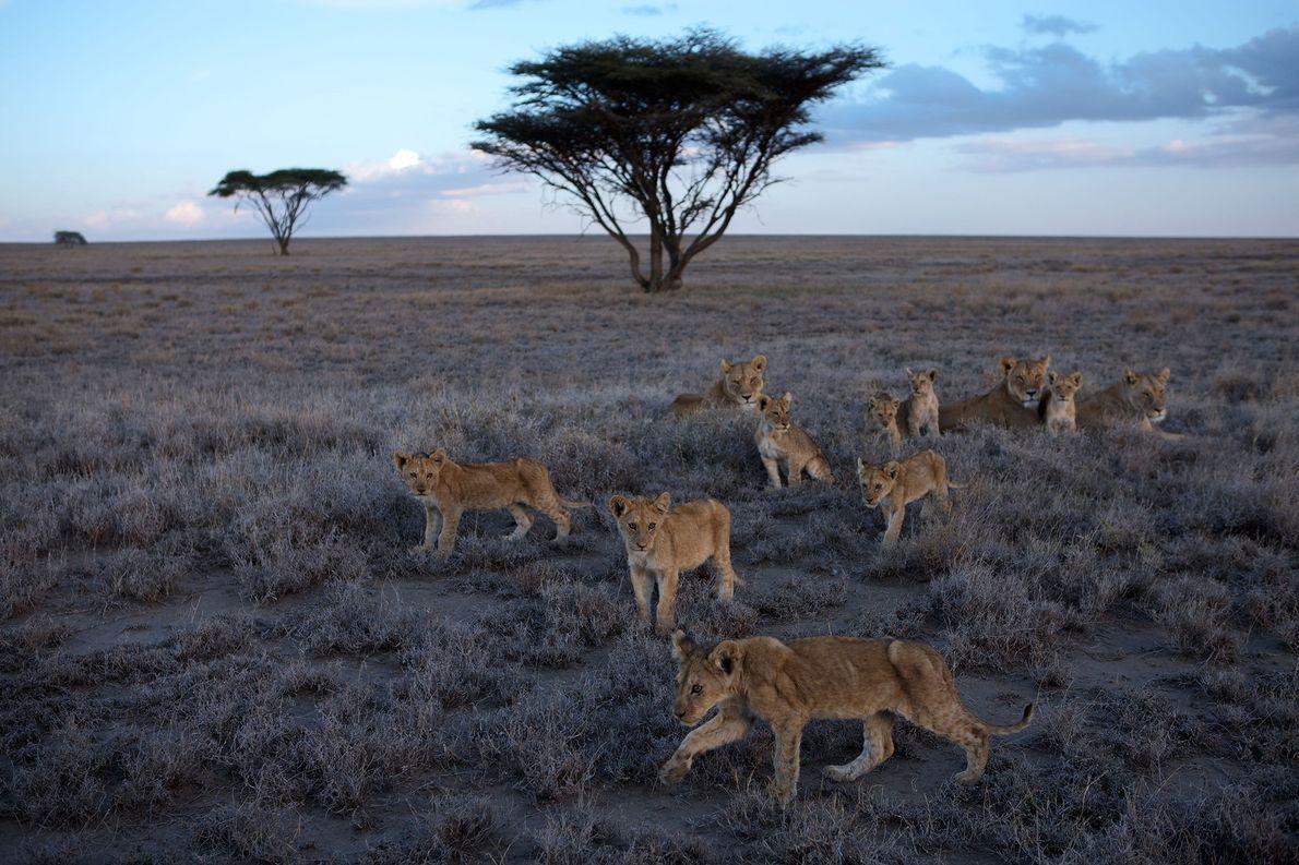 Las leonas y los cachorros de la manada Vumbi descansan en las llanuras del Serengueti. Quedan …
