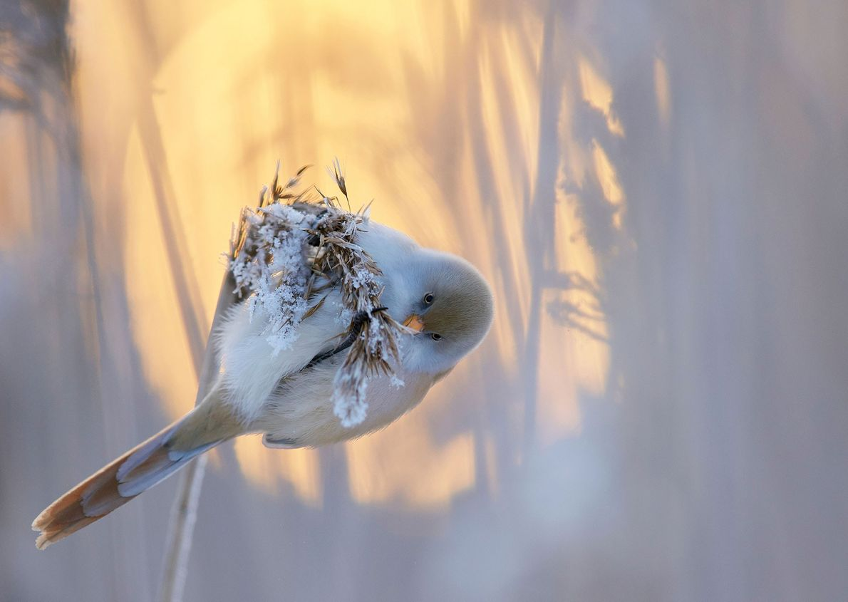 A winner for best portfolio, Markus Varesvuo cast this bearded reedling (Panurus biarmicus) against the setting ...