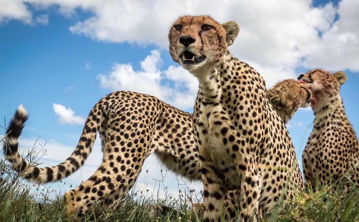 Una madre alerta mientras dos hermanos se lamen. Momentos antes, este grupo se daba un festín …