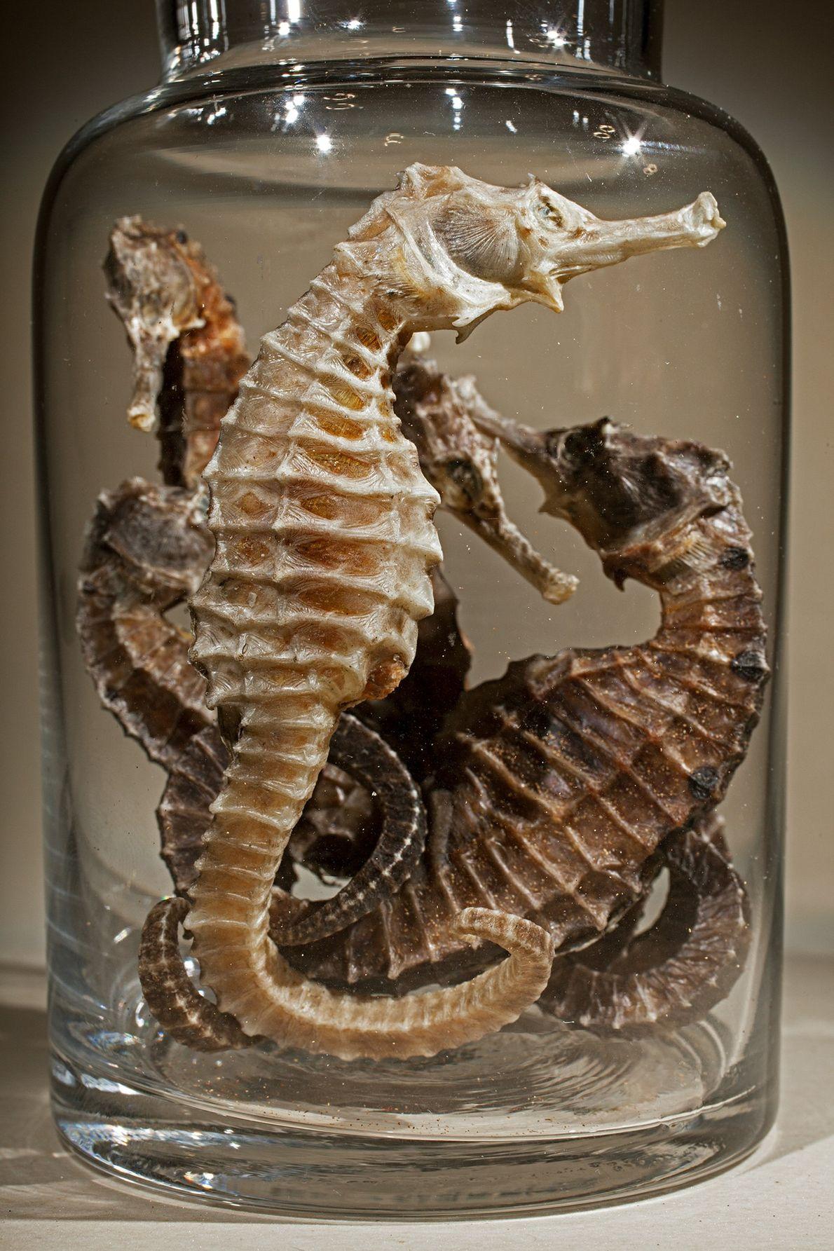 Nombre común: Caballito de mar  Latín: Hippocampus spp.  Chino: Hai ma  Usos: Incontinencia, úlceras