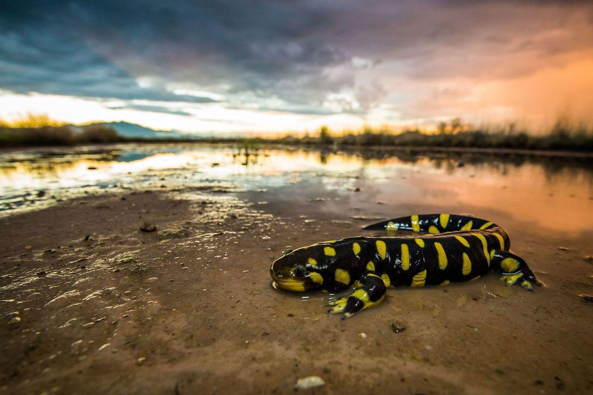 Salamandra tigre. Willcox, Arizona, Estados Unidos