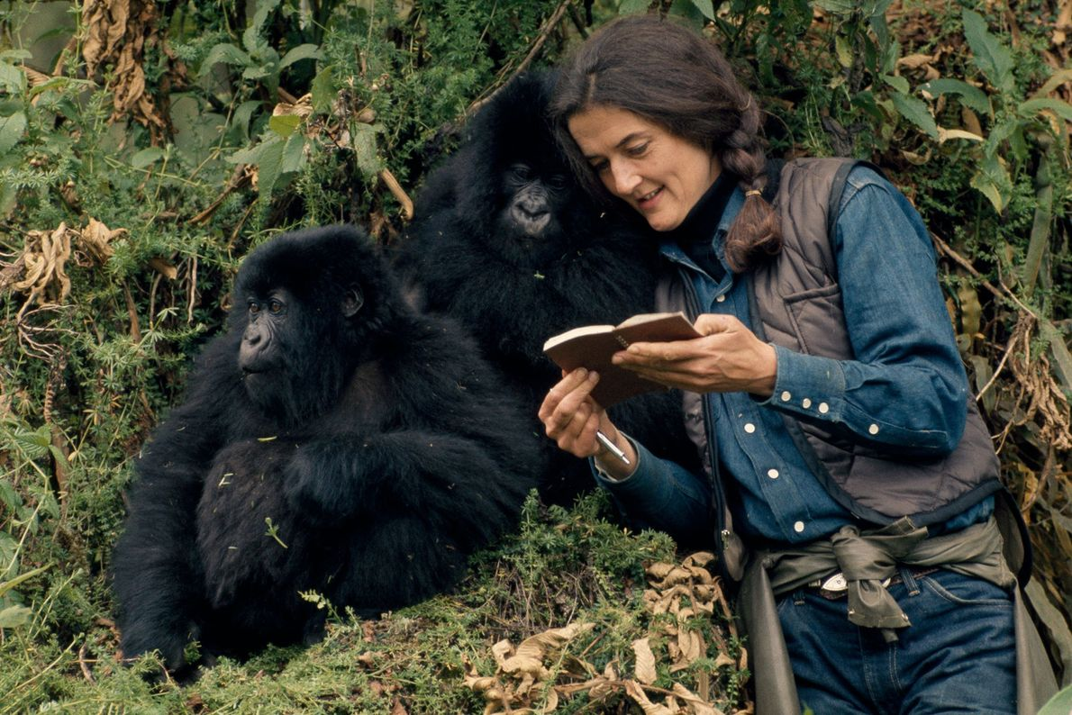 Fossey tomaba notas muy meticulosas