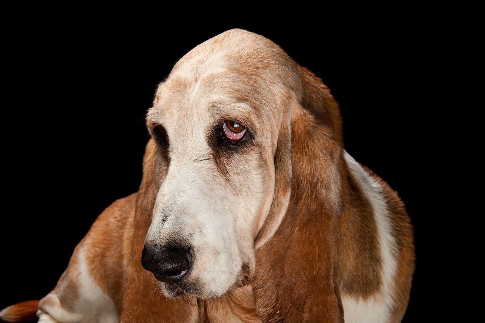 Un basset hound