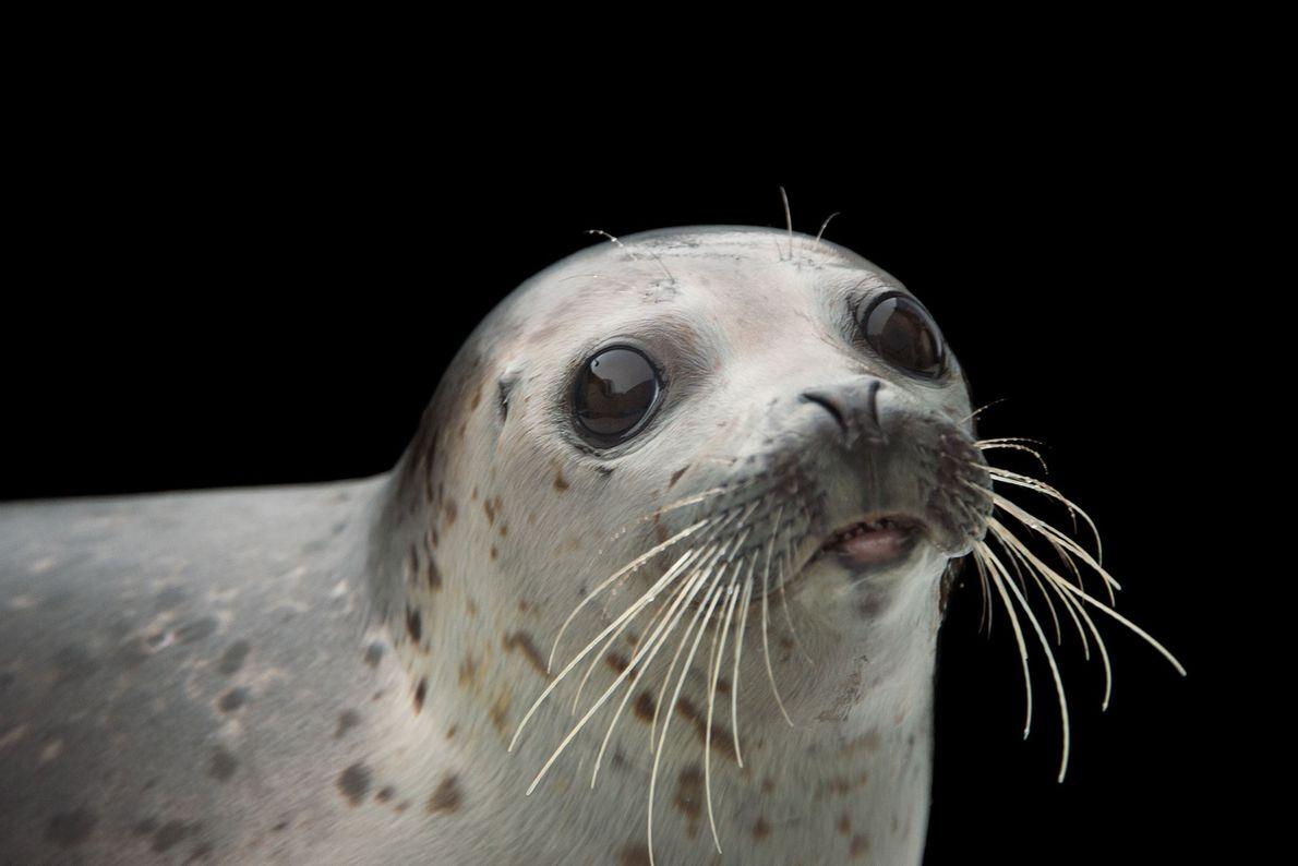 Una foca manchada