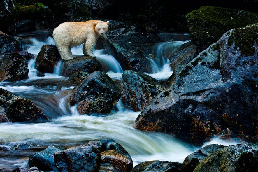 Los osos Kermode solo pueden encontrarse en el remoto archipiélago de la costa central de la Columbia Británica. Una mutación genética en algunos osos negros da lugar al pelaje blanco de los Kermode.