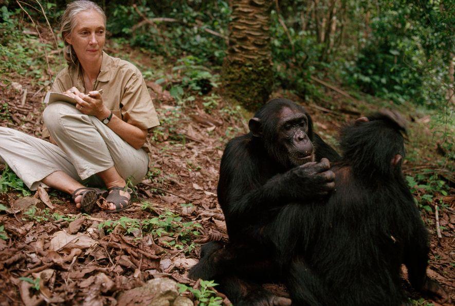 Jane Goodall observa chimpancés en el parque nacional de Gombe Stream, Tanzania, 1990.