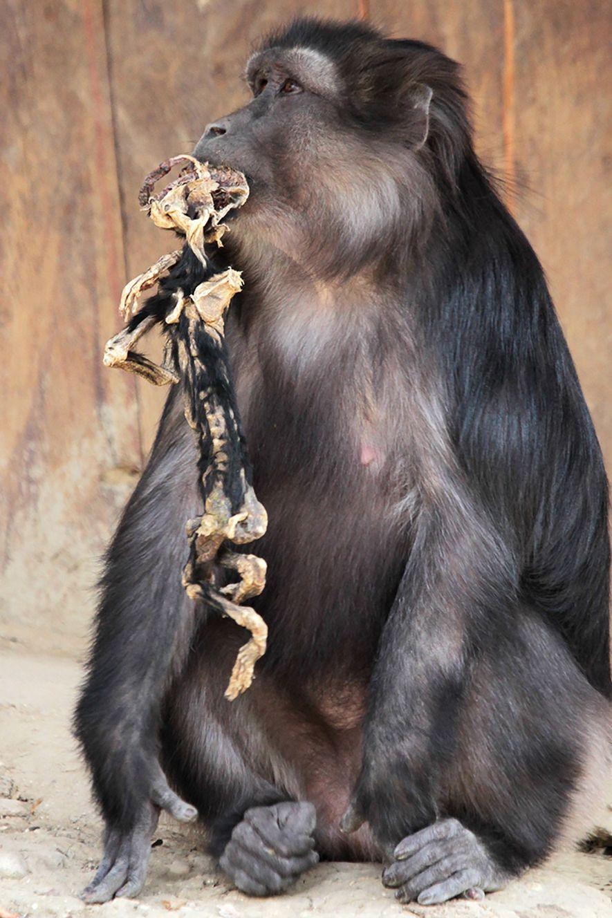 Muchos primates llevan consigo a sus bebés muertos