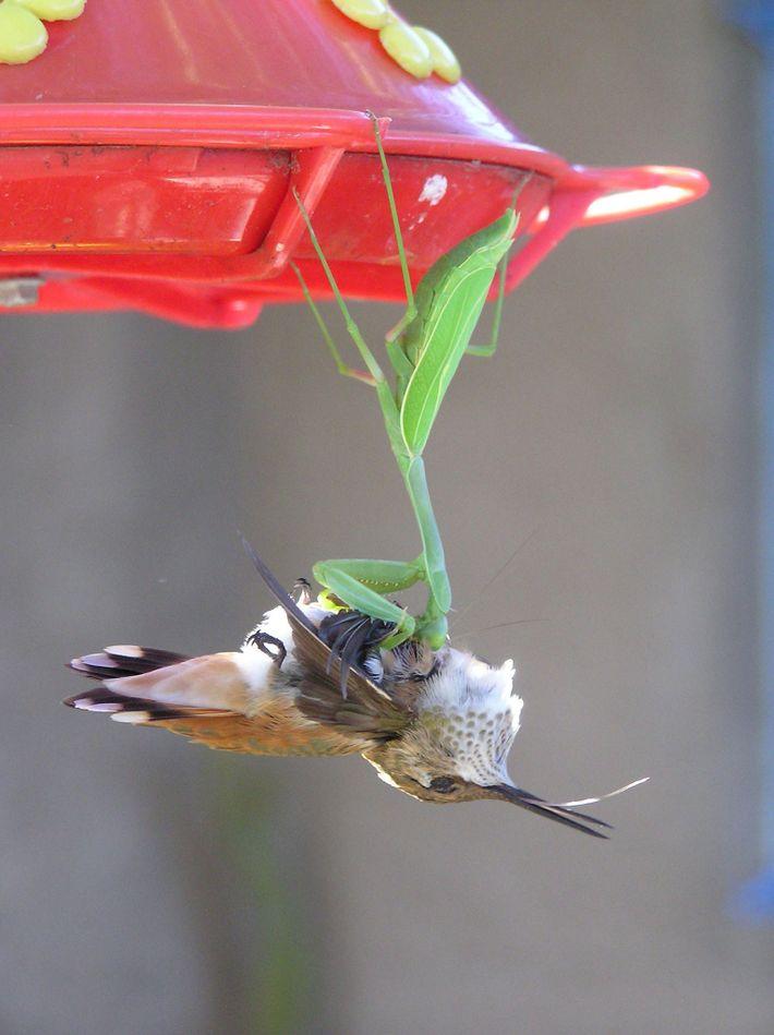 Mantis devorando un colibrí