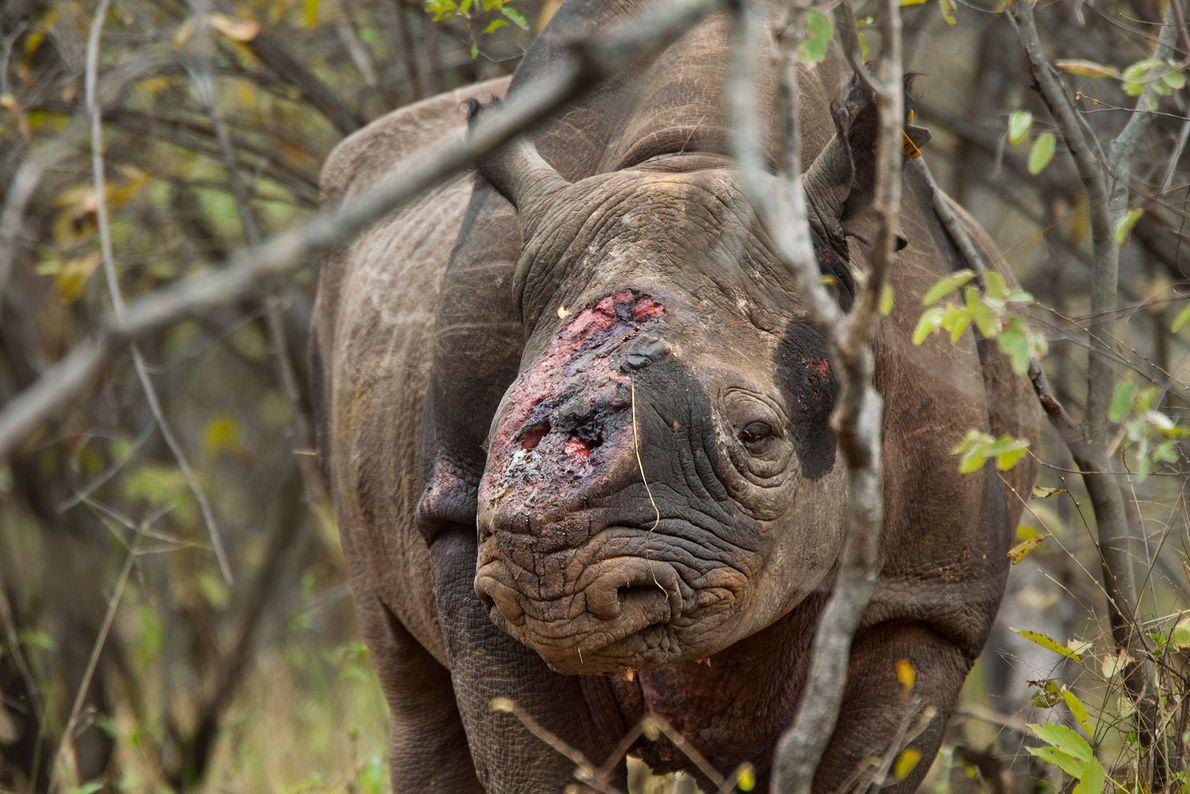 Rinoceronte negro macho