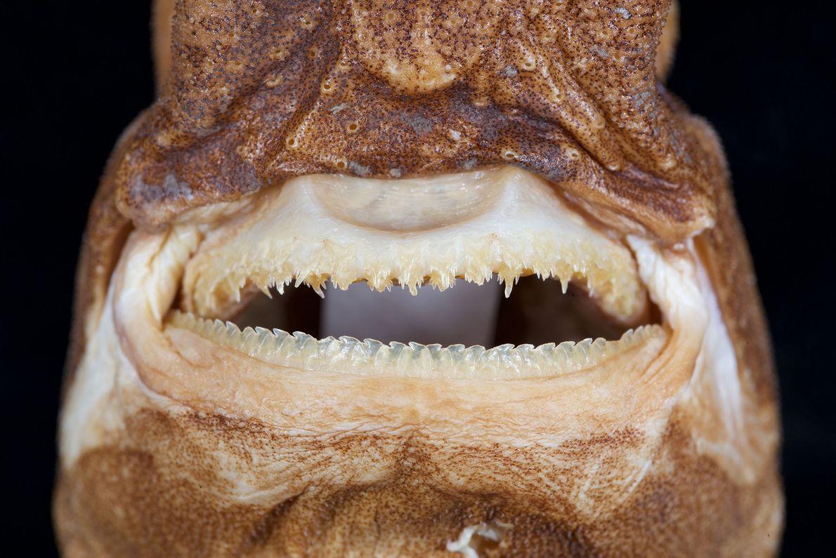 Boca del tiburón linterna