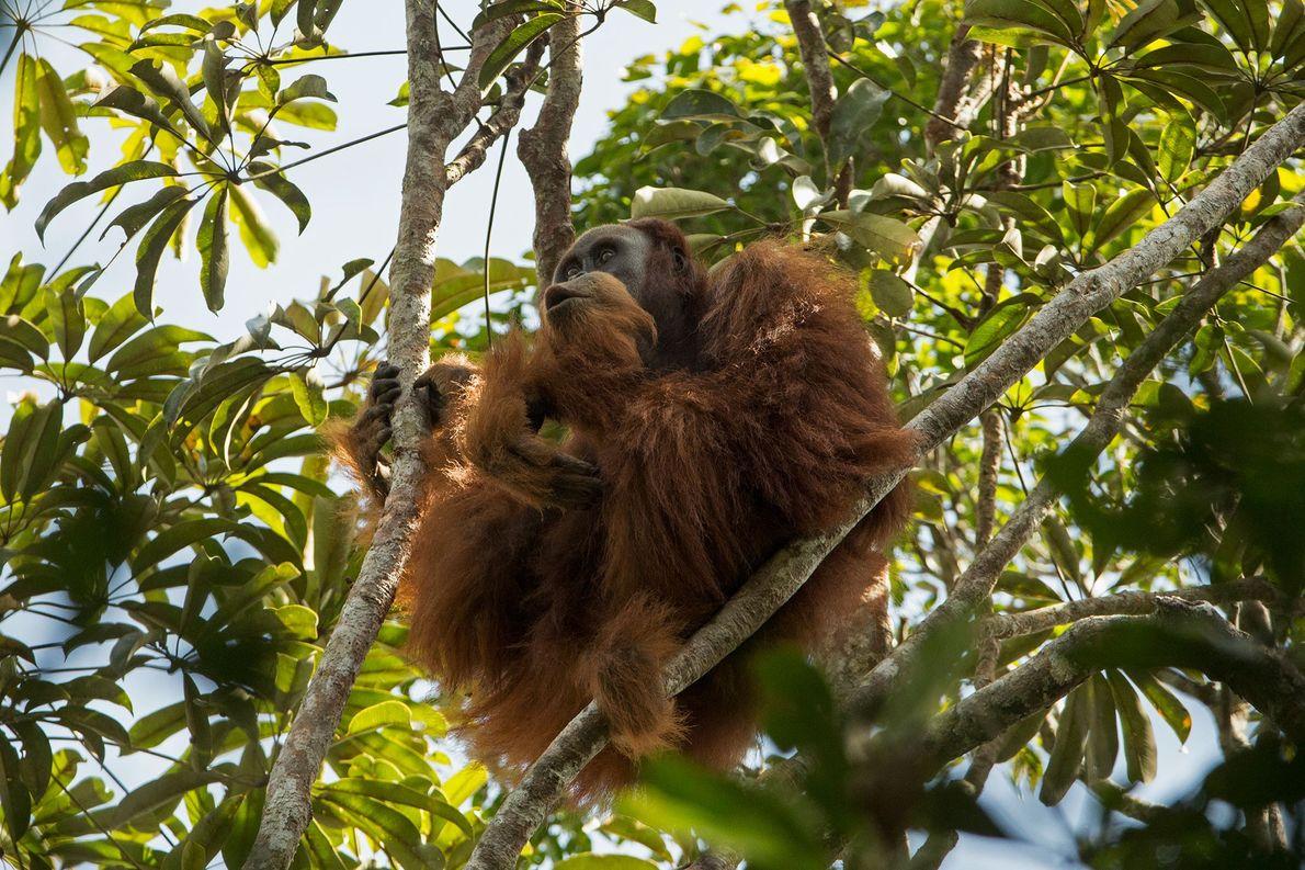 La nueva especie de orangután está en peligro de extinción, al igual que sus parientes de …