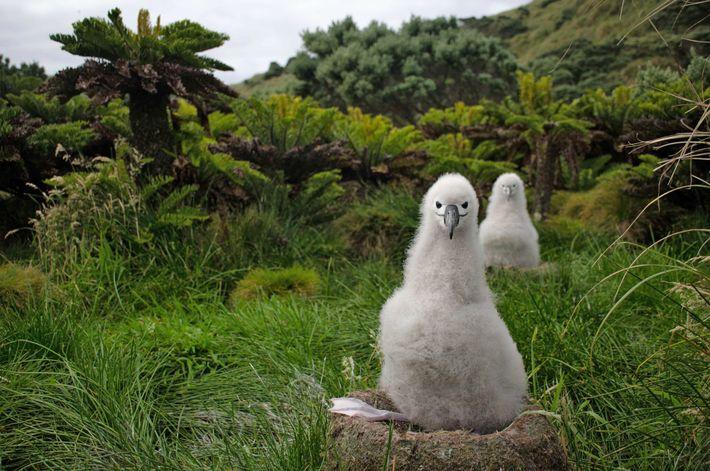 Polluelos de albatros anidan en la isla de Tristán de Acuña