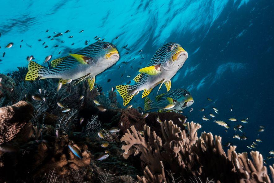 Peces del género Plectorhinchus sobre los corales de Tubbataha, que según el fotógrafo David Doubilet es ...