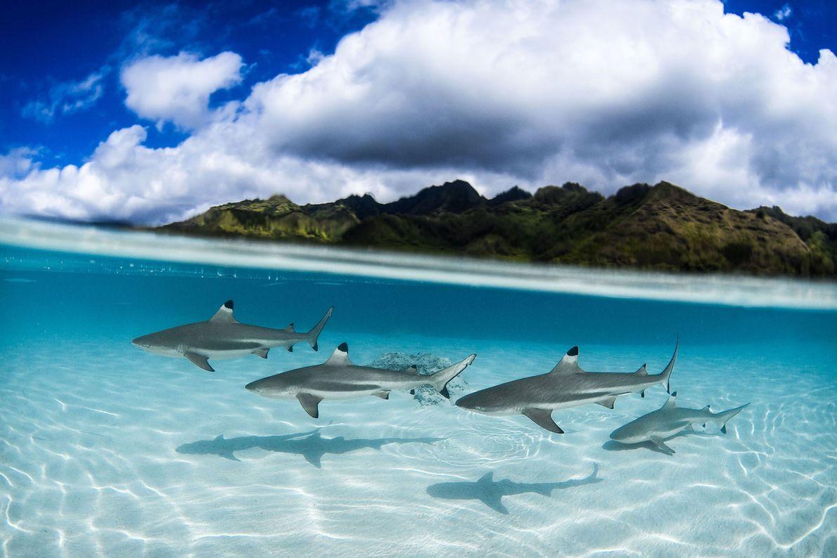 Tiburones de punta negra