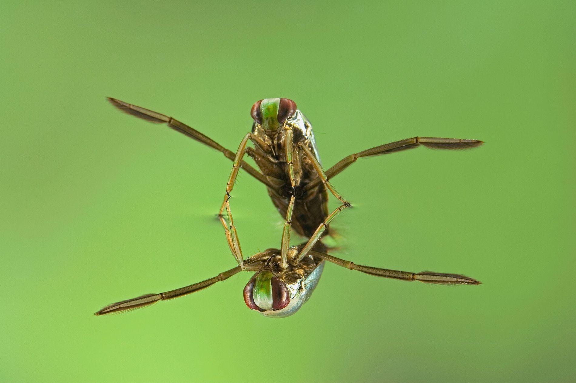 Insecto acuático de la familia Corixidae