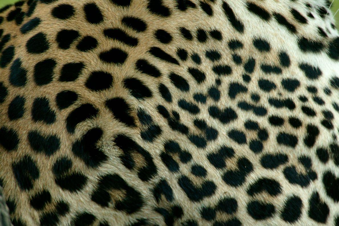 Primer plano de las manchas del pelaje de un leopardo