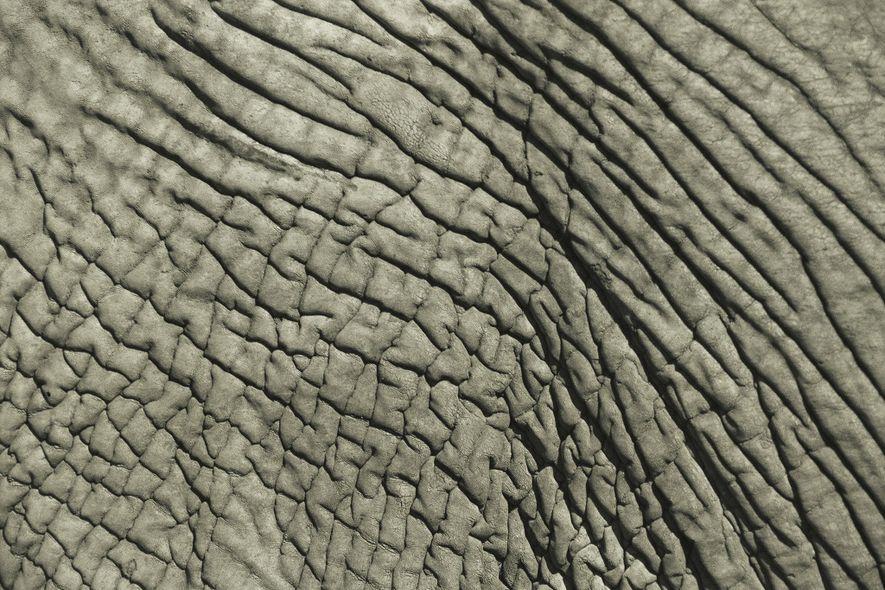 En 2016, Estados Unidos importó más de 2.000 pieles de elefante enteras, la mayoría de Zimbabue ...