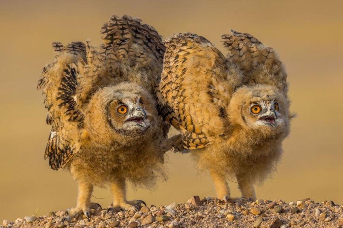 Dos polluelos de búhos del desierto