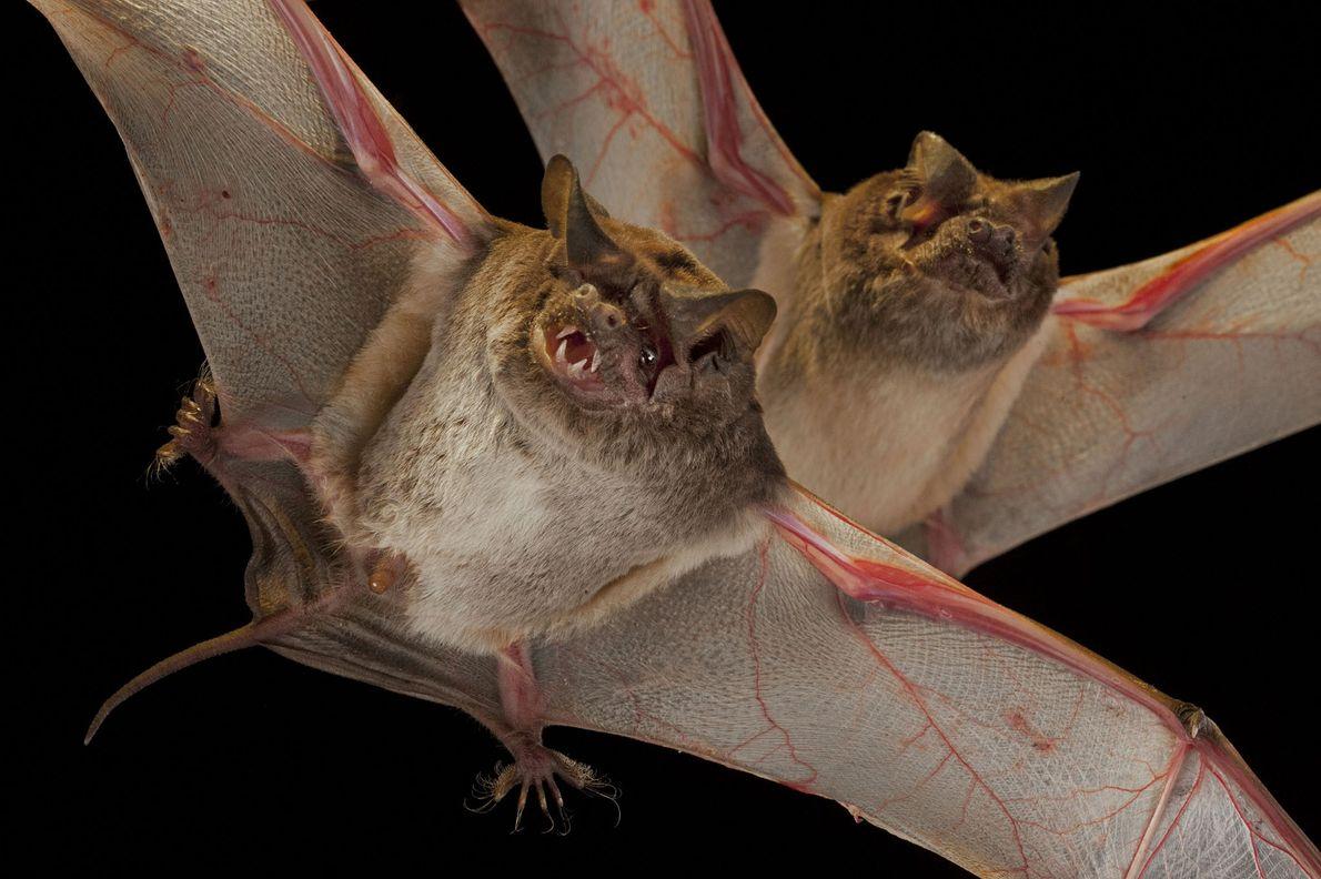 Murciélagos Molossidae