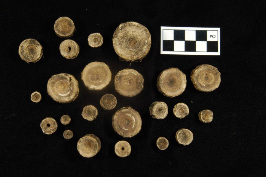 Estas vértebras de tiburón se excavaron en el yacimiento de Mound Key. Los calusa basaban su ...