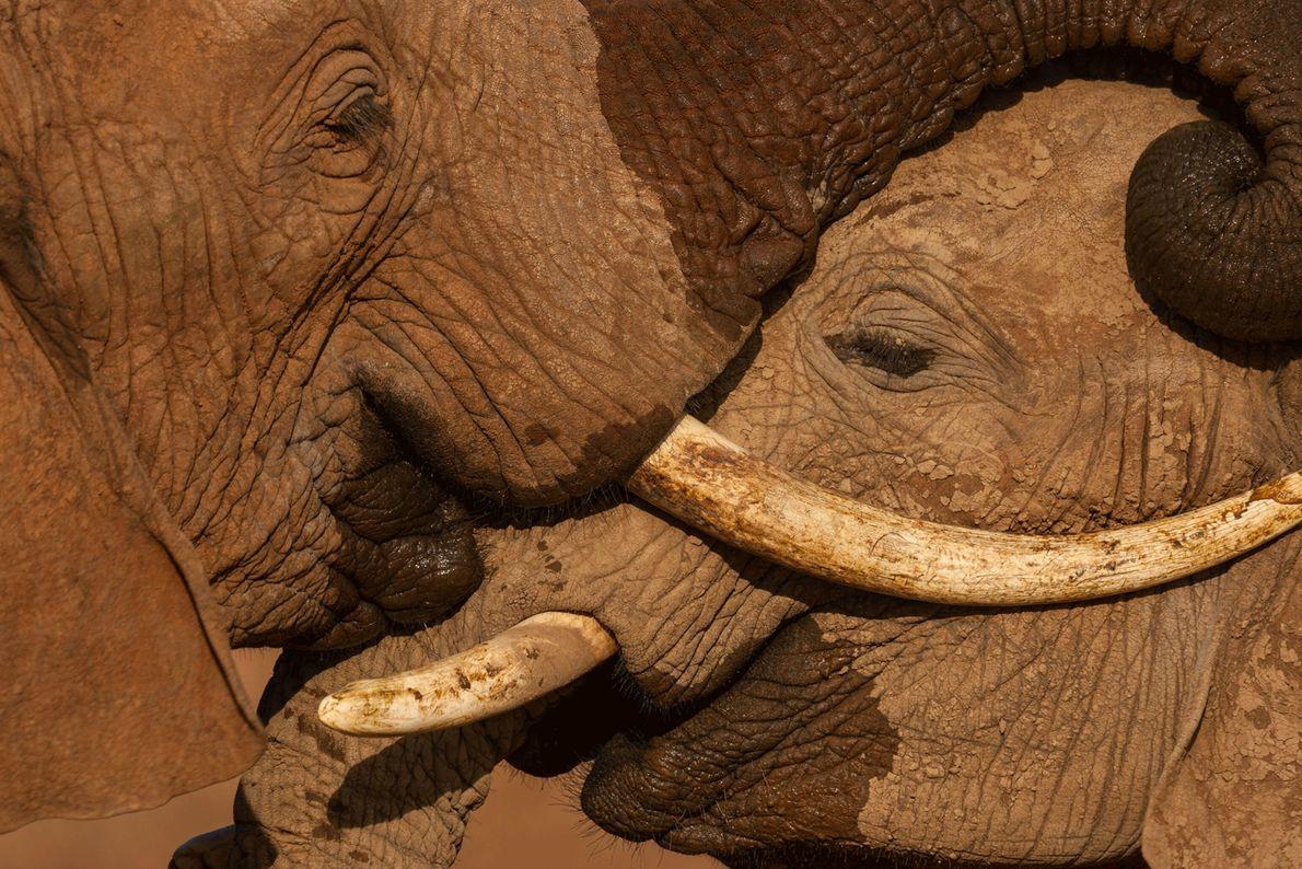 Elefantes machos jóvenes luchan