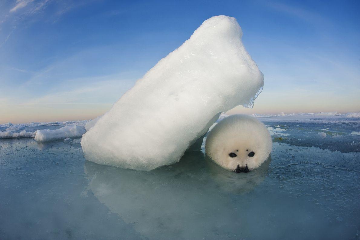 Las focas arpa no se encuentran en peligro, pero el derretimiento del hielo a causa del …