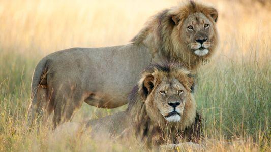Fotografías del león Cecil