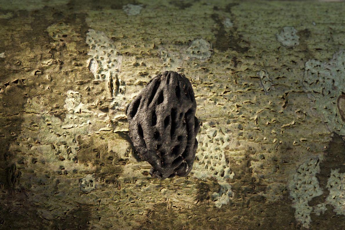 Imagen de una semilla de durazno
